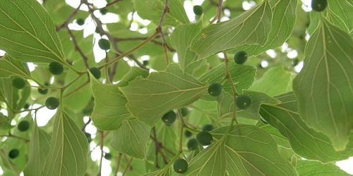 Celtis-image_by-wikipedia